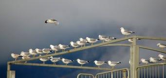 Voo de muitas gaivotas Fotografia de Stock Royalty Free