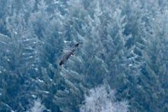 Voo de Peregrine Falcon Pássaro de rapina com asas abertas Floresta com neve no fundo Cena do inverno da ação na natureza ha Fotos de Stock