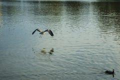 Voo de um pássaro selvagem sobre o lago no parque de Alemanha wingspan Água azul calma Noite do outono fotos de stock royalty free