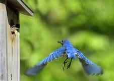 Voo do azulão-americano e pássaro de bebê Fotos de Stock Royalty Free