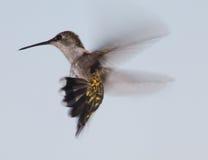 Voo do colibri Imagem de Stock Royalty Free