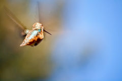Voo do colibri com asas borradas Fotografia de Stock
