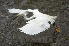 Voo do egret nevado ao arrastar seus pés na água fotos de stock