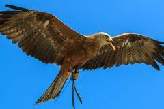Voo do falcão no céu azul Imagem de Stock