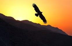 Voo do nipalensis de Eagle Aquila do estepe ao longo do cume da montanha imagem de stock royalty free