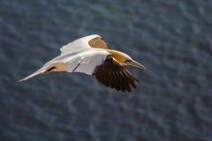 Voo do norte do albatroz em Helgoland imagem de stock royalty free