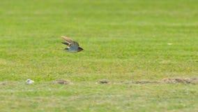 Voo do pássaro da andorinha em Austrália fotos de stock royalty free