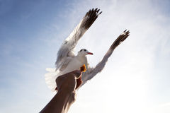 Voo do pássaro da gaivota de mar acima da mão que alimenta com o clou do branco do céu azul Imagem de Stock Royalty Free