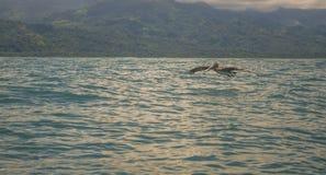 Voo do pelicano Fotografia de Stock