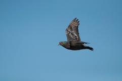Voo do pombo no céu azul imagens de stock