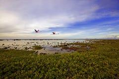 Voo dos flamingos Fotografia de Stock