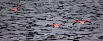 Voo dos flamingos Imagens de Stock Royalty Free