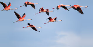 Voo dos flamingos. Fotos de Stock