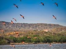 Voo dos flamingos Imagens de Stock