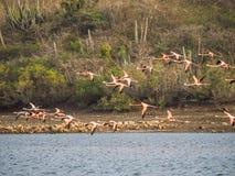 Voo dos flamingos Foto de Stock Royalty Free