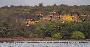 Voo dos flamingos Fotos de Stock Royalty Free
