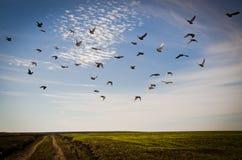 Voo dos pombos Fotos de Stock