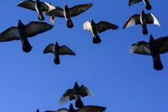 Voo dos pombos Fotografia de Stock Royalty Free