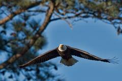 Voo Eagle Imagem de Stock Royalty Free
