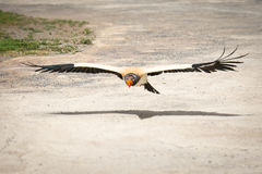Voo Eagle Fotos de Stock Royalty Free