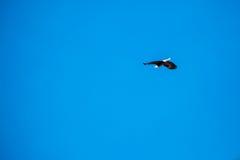Voo Eagle, céu azul Imagem de Stock Royalty Free