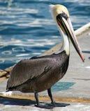 Voo ereto do pelicano no paraíso tropical em Los Cabos México imagens de stock royalty free