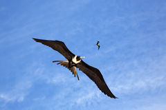 Voo magnífico do frigatebird dois Foto de Stock Royalty Free