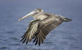 Voo marrom juvenil do pelicano (occidentalis do Pelecanus) através do mar Imagem de Stock Royalty Free