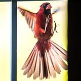Voo masculino cardinal do pássaro no vidro home da porta fotos de stock