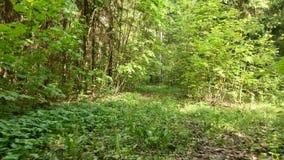 Voo no tiro constante liso e lento da floresta da came Dia limpo e brilhante filme