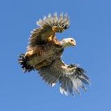 Voo novo da galinha no céu com propagação das asas Imagem de Stock Royalty Free