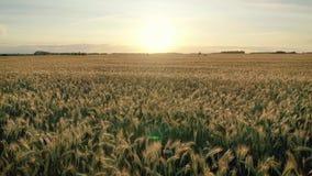 Voo rápido aéreo sobre a terra vasta do campo do trigo dourado das orelhas no por do sol vídeos de arquivo
