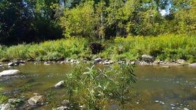 Voo raro do pássaro da garça-real sobre um rio no verão video estoque