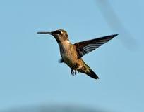 Voo Rubi-Throated do colibri no alimentador Imagem de Stock Royalty Free