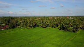 Voo sobre campos do arroz vídeos de arquivo