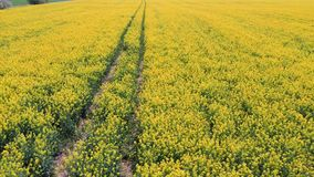 Voo sobre o campo com as flores de floresc?ncia do Canola Metragem a?rea de Dron video estoque