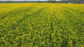 Voo sobre o campo com as flores de floresc?ncia do Canola Metragem a?rea de Dron vídeos de arquivo