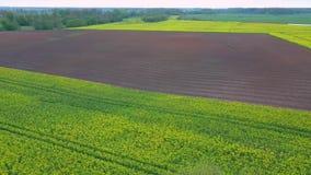 Voo sobre o campo com as flores e o Linden de floresc?ncia do Canola em Midle Metragem a?rea de Dron filme
