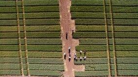 Voo sobre o campo com variedades diferentes de trigo Scienti imagem de stock royalty free