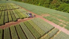 Voo sobre o campo com variedades diferentes de trigo Scienti imagens de stock royalty free