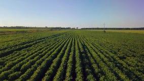 Voo sobre o campo de ervilhas verdes Avaliação aérea video estoque