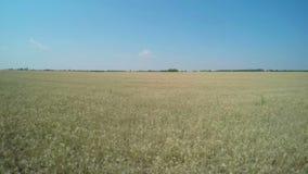 Voo sobre o campo de trigo video estoque