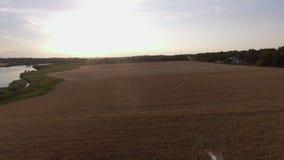 Voo sobre o campo do centeio dos pontos do trigo, vista superior filme