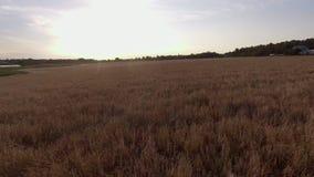 Voo sobre o campo do centeio dos pontos do trigo, vista superior vídeos de arquivo