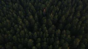 Voo sobre um pinho verde luxúria vasto e partes superiores da árvore do abeto vermelho na floresta video estoque