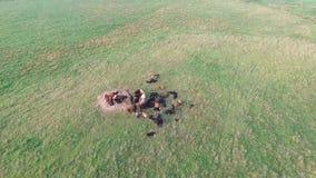 Voo sobre vacas no prado vídeos de arquivo