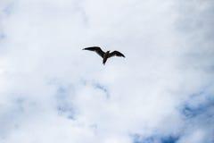 Voo sozinho do pássaro da gaivota no céu azul nebuloso Fotografia de Stock Royalty Free