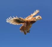 Voo vermelho da galinha no céu com propagação das asas Fotos de Stock