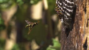 Voo vulgar do vespula da vespa comum ao ninho video estoque