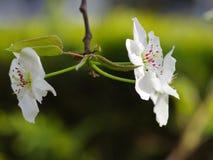 De bloem van de peer royalty-vrije stock foto
